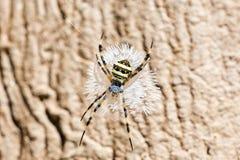 Il ragno sul web Immagini Stock