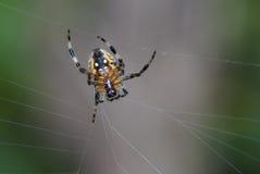 Il ragno sulla rete immagine stock
