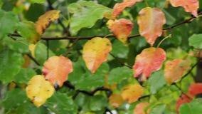 Il ramo con colore bagnato lascia di melo in pioggia stock footage