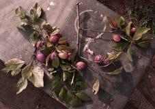 Il ramo con le prugne Fotografie Stock Libere da Diritti