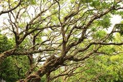 Il ramo degli alberi Immagine Stock