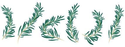 il ramo dei rosmarini ha isolato illustrazione di stock