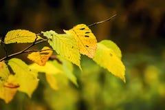 Il ramo del carpino con giallo lascia nel autumn_ Immagini Stock