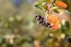 Il ramo del chokeberry maturo durante la caduta ha offuscato il fondo Fruttifica la o fotografia stock