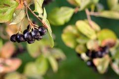 Il ramo del chokeberry maturo durante la caduta ha offuscato il fondo Fruttifica la o fotografia stock libera da diritti