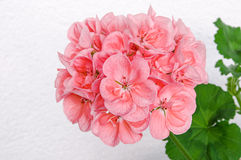 Il ramo del fiore della molla con cranesbill rosa (pelargonium, geranio) fiorisce Immagine Stock