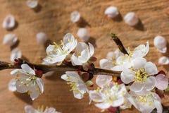 Il ramo del fiore di ciliegia fiorisce su fondo incrinato di legno con i petali unfocused Fotografie Stock