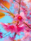 Il ramo del fuoco selettivo di Cherry Blossom himalayano, inoltre chiama sakura colore rosa con il fondo del cielo blu Fotografie Stock