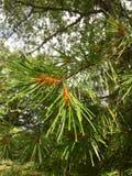 Il ramo del pino Fotografia Stock