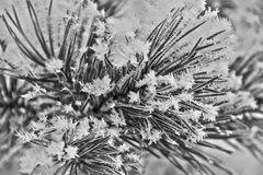 Il ramo del pino con gelo, la brina e la neve si sfalda, foto in bianco e nero, alto derealization Immagini Stock