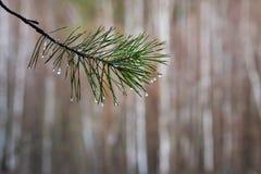 Il ramo del pino con le gocce di acqua sugli aghi, si attilla dopo pioggia fotografie stock