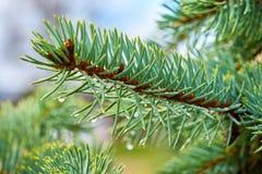 Il ramo del pino con le gocce di pioggia si chiude su Immagine Stock