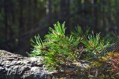 Il ramo del pino ed i coni si chiudono su Immagini Stock
