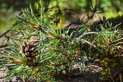 Il ramo del pino ed i coni si chiudono su Fotografie Stock Libere da Diritti