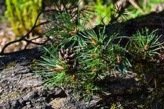 Il ramo del pino ed i coni si chiudono su Fotografia Stock Libera da Diritti