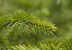 Il ramo del pino verde Fotografie Stock