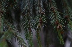 Il ramo dell'abete Fotografia Stock