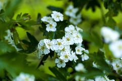 Il ramo dell'albero del fiore Fotografia Stock