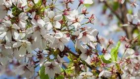 Il ramo dell'albero di Sakura del giapponese con il fiore di ciliegia fiorisce archivi video