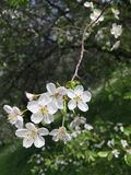 il ramo della ciliegia di uccello fiorisce l'albero della pianta delle bacche dei fiori bianchi fotografia stock