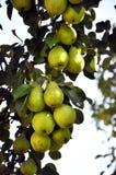 Il ramo della pera con fruit_2 Immagine Stock Libera da Diritti