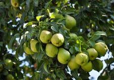 Il ramo della pera con fruit_4 Immagine Stock Libera da Diritti