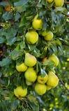 Il ramo della pera con fruit_3 Fotografie Stock Libere da Diritti