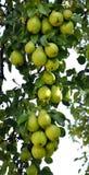 Il ramo della pera con frutta Fotografia Stock