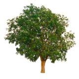 Il ramo di albero Fotografia Stock