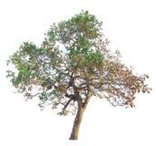 Il ramo di albero Fotografia Stock Libera da Diritti