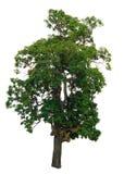 Il ramo di albero Immagine Stock