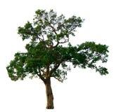 Il ramo di albero Fotografie Stock Libere da Diritti
