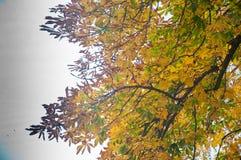 Il ramo di albero con giallo va sul fondo bianco del cielo Immagine Stock Libera da Diritti