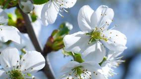 Il ramo di albero del fiore di ciliegia 4k fiorisce la stagione estiva del cielo blu bella video d archivio