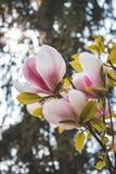 Il ramo di fioritura del fiore delicato della magnolia fotografia stock libera da diritti