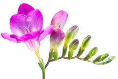 Il ramo di fresia porpora con i fiori ed i germogli, isolato sopra Immagine Stock