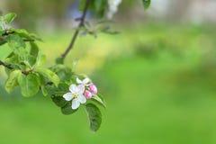 Il ramo di melo fiorisce su fondo vago verde Fotografie Stock