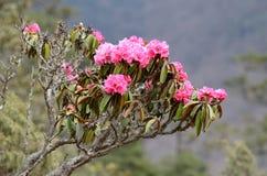 Il ramo di rododendro sbocciante fiorisce in Himalaya, Nepal Fotografia Stock