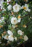 Il ramo di selvaggio è aumentato con i fiori bianchi e le foglie verdi, verticalmente, primo piano Immagine Stock
