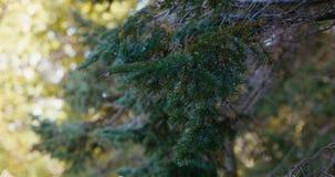 Il ramo di un abete conifero ondeggia nel vento archivi video