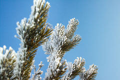 Il ramo di un pino coperto di neve Fotografia Stock
