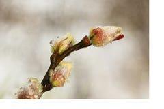 Il ramo di un salice con le goccioline fotografia stock libera da diritti