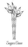 Il ramo e la foglia del gambo della canna da zucchero vector l'illustrazione disegnata a mano Fotografie Stock Libere da Diritti