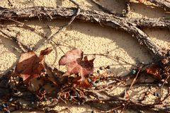 Il ramo ed asciuga le foglie dell'albero scalate sulla parete del cemento con luce solare Immagine Stock Libera da Diritti