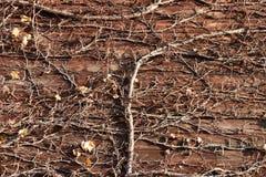 Il ramo ed asciuga le foglie dell'albero scalate sulla parete di legno con luce solare Immagine Stock