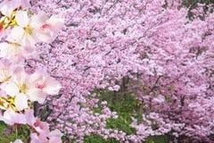 Il ramo realistico della ciliegia di sakura con la fioritura fiorisce con la b piacevole Immagine Stock