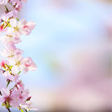 Il ramo realistico della ciliegia di sakura con la fioritura fiorisce con la b piacevole Fotografie Stock Libere da Diritti