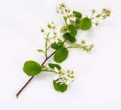 Il ramo sbocciante di un frutta-albero fa il giardinaggio su un fondo bianco Fotografie Stock Libere da Diritti