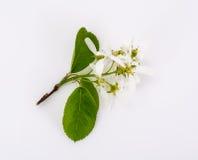 Il ramo sbocciante di un frutta-albero fa il giardinaggio su un fondo bianco Immagini Stock