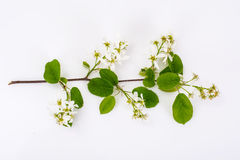 Il ramo sbocciante di un frutta-albero fa il giardinaggio su un fondo bianco Immagini Stock Libere da Diritti